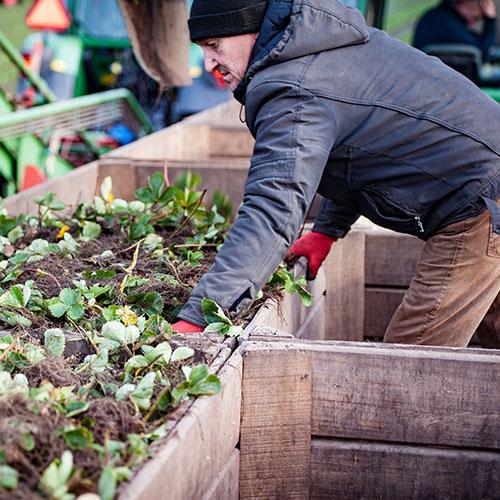 Aardbei Extra strawberry plants supplier europe