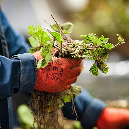 strawberry plants supplier europe