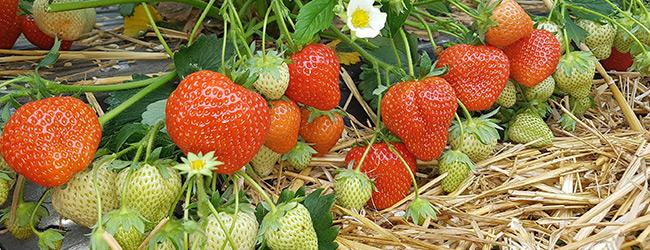 Elegance aardbeienplant ras