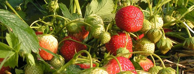 Elsanta aardbeienplant ras