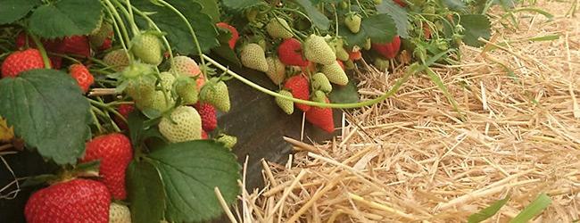 Flair aardbeienplant ras