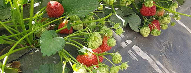 Limalexia aardbeienplant ras