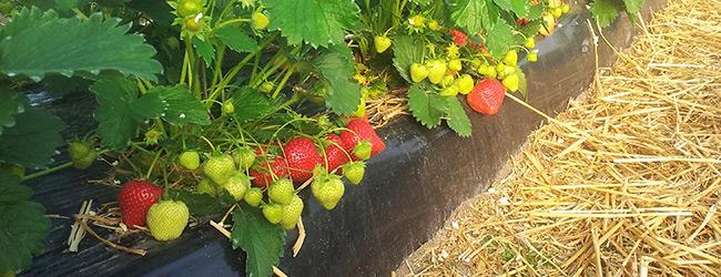 Sonata aardbeienplant ras